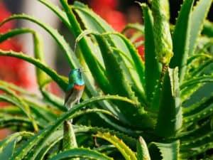 Aloes z ptakiem
