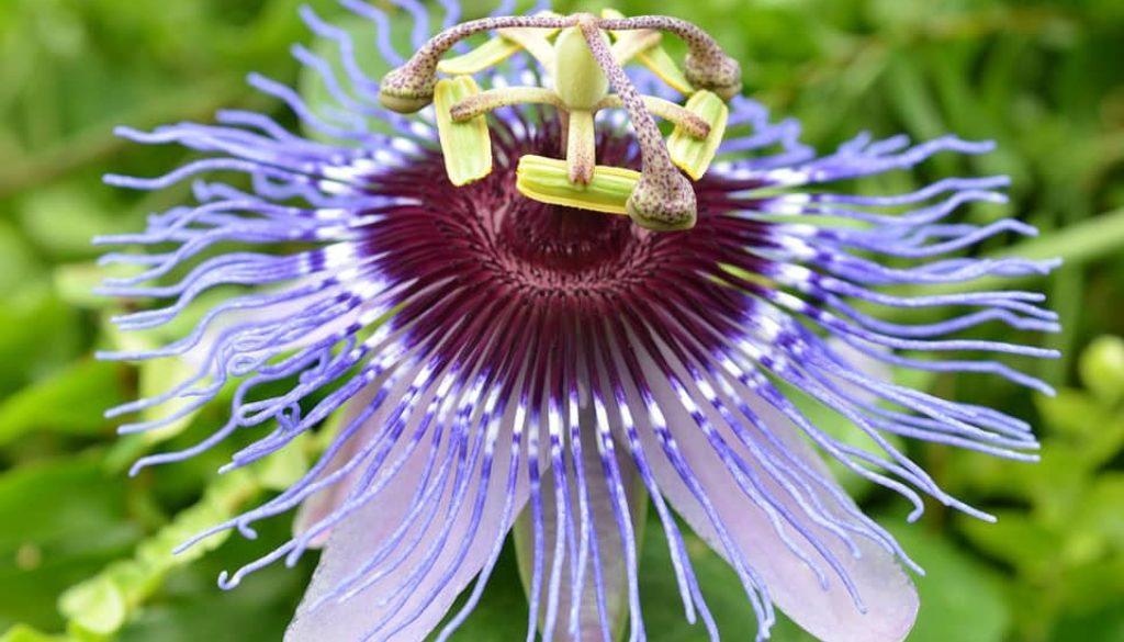 Męczennica kwiat