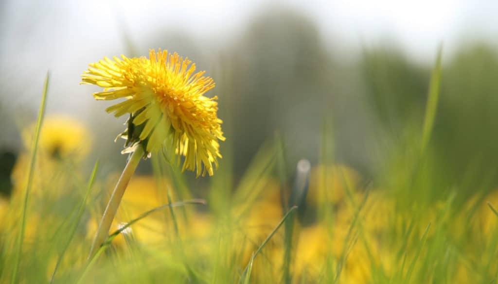Mniszek lekarski kwiat
